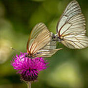Black-veined White Poster