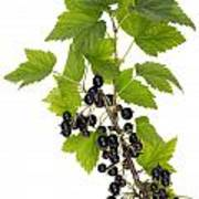 Black Wild Forest Berries Poster