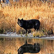 Black Wolf Reflection Poster