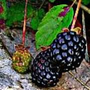 Blackberries Poster by Debbie Sikes