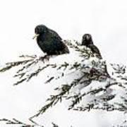 Blackbirds In Snow Poster
