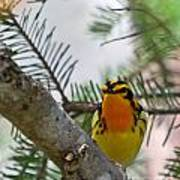 Blackburnian Warbler Looking At You Poster