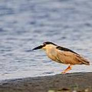 Blackcrowned Night Heron Poster