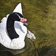 Blacknecked Swan Poster