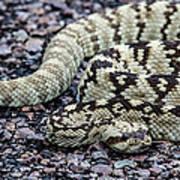 Blacktailed Rattlesnake Poster