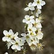 Blackthorn Or Sloe Blossom  Prunus Spinosa Poster