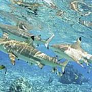 Blacktip Reef Shark Poster