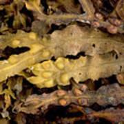 Bladder Wrack (fucus Vesiculosus) Poster