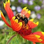 Blanket Flower And Bumblebee Poster