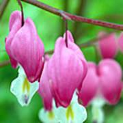 Bleeding Hearts Flowers Poster