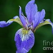 Blood Iris Poster