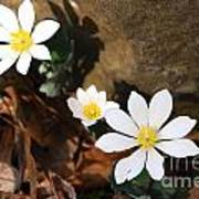 Bloodroot Beauty Poster