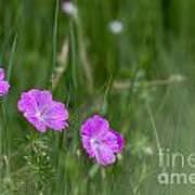 Bloody Cranesbill Wild Flowers Poster