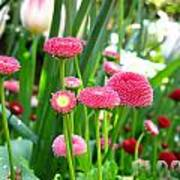 Bloom Pink English Daisies Poster