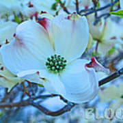 Bloom White Dogwood Poster
