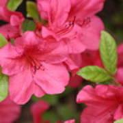 Blooming Azalea Poster