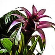 Blooming Bromeliad Poster by Christi Kraft