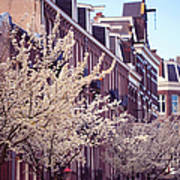 Blooming Decoration Of The Streets. Pink Spring In Amsterdam Poster