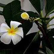 Blooming Frangipani Flower Alongside Bud Poster
