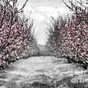 Blooming Peach Orchard Poster by Elena Elisseeva