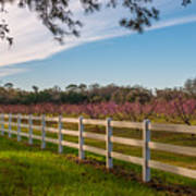 Blooming Peach Tree's At Boone Hall Poster