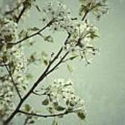 Blooming Pear Tree Poster