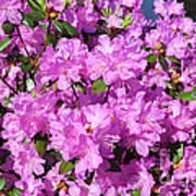 Blooming Pink Azaleas Poster