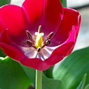 Blooming Red Tulip Poster