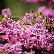 Blooming Redbud Tree Cercis Canadensis Poster by Rebecca Sherman