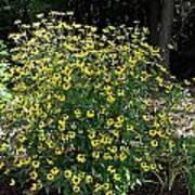 Blooming Rudbeckia Bush Poster