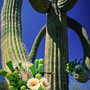 Blooming Saguaro Poster
