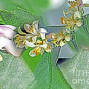 Blooms Of Lemon Tree Poster