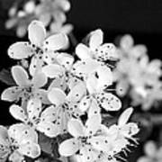 Blossom In Black And White Poster