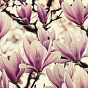Blossoming Of Magnolia Flowers In Spring Time Poster