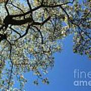 Blossoming White Magnolia Tree Against Blue Sky Poster