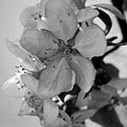 Blossoms 2013 Monochrome Poster