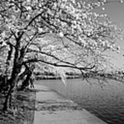 Blossoms In Bw Poster