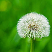 Blowball Of Dandelion - Featured 3 Poster