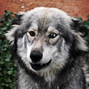 Blue And Brown Eyed Husky Poster