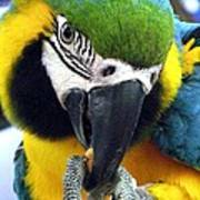 Blue And Gold Macaw With A Peanut Poster