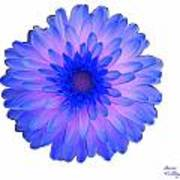 Blue And Pink Dahlia Poster