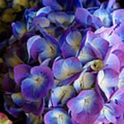 Blue And Purple Hydrangeas Poster