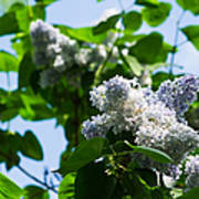 Blue And White Lilacs Poster