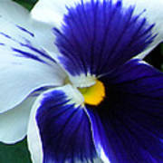 Blue And White Pansy Poster