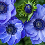 Blue Anemones. Flowers Of Holland Poster