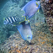 Blue Angelfish Feeding On Coral Poster