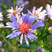 Blue Asters 3 Poster