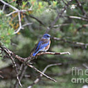 Blue Bird Perched Poster