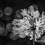 Blue Blooms B/w Poster