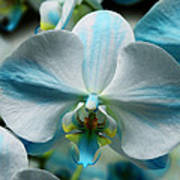 Blue Bow Orchid Poster